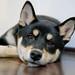 柴犬:リラックス。