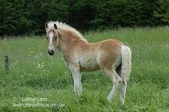 310504 (33) (Lothar Lenz) Tags: horse caballo cheval cavalo pferd hest equus paard haflinger hst fohlen hestur konj hobu zirgs lotharlenz