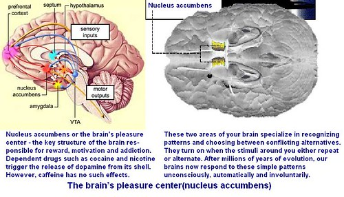 nucleus accumbens pleasure center