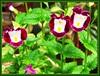 Torenia fournieri (Bluewings, Wishbone Flower)