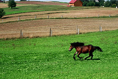 Horse on meadow (Pawel Boguslawski) Tags: horse green grass freedom meadow poland