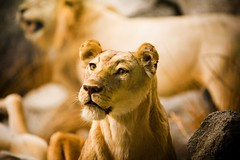 Heart Like a Lion - by Thomas Hawk