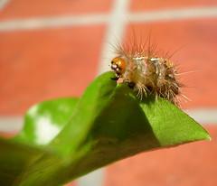 Oruga (Pablo Molnar) Tags: fauna bug insect flora insects bugs creepy worm worms gusano bicho cienpies oruga