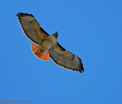 Red-tailed Hawk; Buteo jamaicensis (MissionPhotography) Tags: california fruits orangecounty blend redtailedhawk buteojamaicensis acai monavie featheryfriday buteojamaicensi