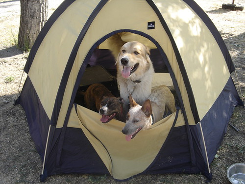 three dogs peeking out of a tent