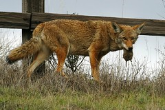 Always make sure you bring the order home. (wildphotons) Tags: coyote ca los open space sales preserve animalbehaviour trancos canislatrans specanimal anawesomeshot impressedbeauty