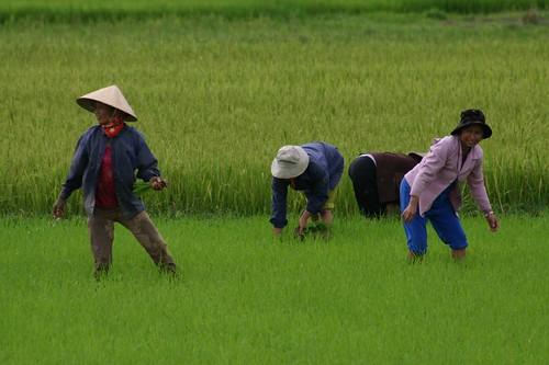 Vietnamese rice field workers...Southern Vietnam '07