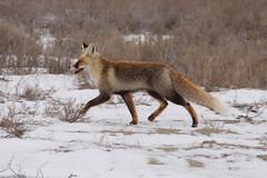 Foxy (Shemya) Tags: kazakhstan  tengiz