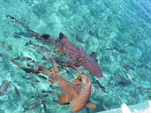 Caye Caulker Sharks