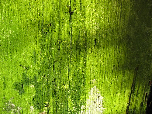 green moss-like algae on a rotting wood wall.