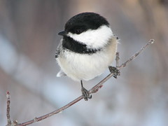 Hey, look at me! (annkelliott) Tags: canada calgary nature birds outdoors explore alberta ornithology blackcappedchickadee poecileatricapillus interestingness225 featheryfriday i500 canons3is animalkingdomelite annkelliott explore2007jan18 talkaboutwildlifeca img1004660