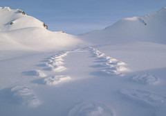 Yesterday's Tracks (MisterAlpenglow) Tags: snow ice alaska frozen saveme5 deleteme10 tracks footprints bearmountain sitka baranof