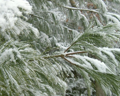 Snow-laden Pine Branches