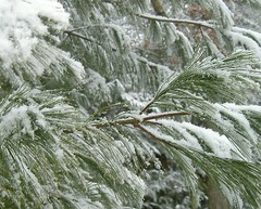 Snow-laden Pine Branches