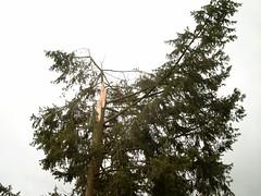 Baum nach Orkan Kyrill (2)