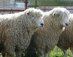 Long wooled rams