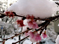 snowcap (Marlis1) Tags: pink flowers winter snow wow switzerland searchthebest 100vistas outstandingshots abigfave