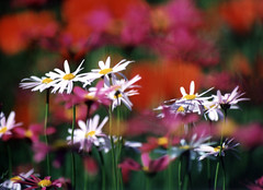 Impressionist Daisies (Prestidigitizer) Tags: judgmentday54 portfolio10 colorphotoaward superaplus aplusphoto 1on1bokehdofphotooftheday 1on1bokehdofphotoofthedayapril2007
