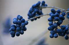 Berries in Winter (kotobuki711) Tags: blue winter macro river berry branch berries dof bokeh connecticut newengland ct explore housatonic abigfave