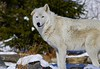Apache The Wolf (kotobuki711) Tags: trees winter white snow ny newyork cold male grass rock pine wolf dof bokeh conservation alpha artic wolves britishcolumbian southsalem wolfconservationcenter