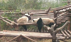 giant pandas (Rex Pe) Tags: china animals wildlife chengdu giantpanda sichuan zooanimals pandaresearchcenter