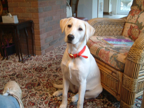 Lilly - yellow labrador retriever