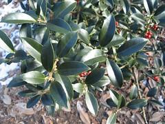 image Image pedunculosa leaves smooth