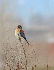 Winter Male American Kestrel (Fort Photo) Tags: male bird nature birds animal colorado bokeh fort wildlife birding fortcollins aves raptor ave falcon co collins ornithology avian americankestrel kestrel birdofprey 2007 falcosparverius birdphoto outstandingshots nikonstunninggallery animalkingdomelite abigfave impressedbeauty