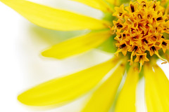 Summer Flashback!! (Mingfong) Tags: summer flower macro colors yellow wisconsin details story madison sunflower albumcover summertime stories middleton summerflower strickerspond summerflowers  summercolors mingfong musicflyer mingfongjan artbrochure sketchoflight mingfongphotography