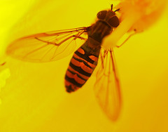 """Hoverfly(23)(1) • <a style=""""font-size:0.8em;"""" href=""""http://www.flickr.com/photos/57024565@N00/390115694/"""" target=""""_blank"""">View on Flickr</a>"""