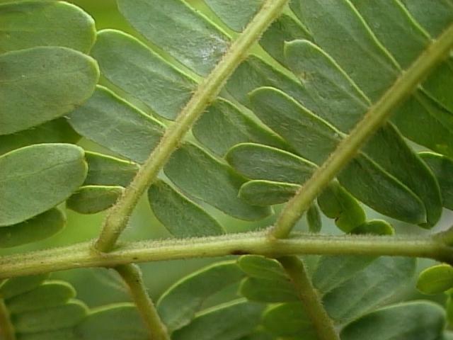 Acacia albizioides leaf