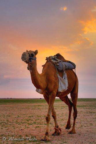 Arabian camel by dhahi alsaeedi.