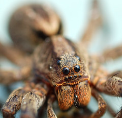 Wolf spider (mcvmjr1971) Tags: macro d50 spider eyes nikon creepy wolfspider aranha lycosa lycosaerythrognatha anawesomeshot superaplus aplusphoto favemegroup3