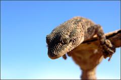little creature in Algeria desert