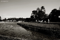 Crossing paddy field