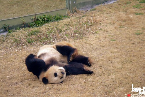 amused panda