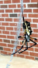 Yellow and black Argiope writing spider with web in wife's flower garden (Martin LaBar) Tags: black macro yellow spider legs web bricks southcarolina arthropoda argiope aranha writingspider pickenscounty araneidae a1f1 abigfave p1f1