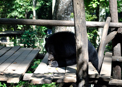 Luang Prabang (makingacross) Tags: laos pdr luang prabang luangprabang nikon d3000 louangphabang luangphabang phabang moon bear rescue eating