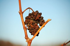 "grapes / raisins • <a style=""font-size:0.8em;"" href=""http://www.flickr.com/photos/20176387@N00/317734481/"" target=""_blank"">View on Flickr</a>"
