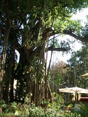 Banyan Tree (Pics_Marc) Tags: goa banyantree tajholidayvillage