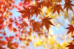 (Hanafan) Tags: red leaves leaf bokeh momiji autumun
