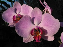 Phipps Conservatory Orchid