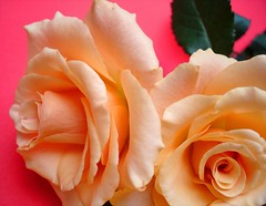 Two open hearts. (Janny Brocken) Tags: red roses orange macro love topf25 beauty topv111 hearts fdsflickrtoys topv555 topv333 peace searchthebest topv444 topv222 explore topv777 topv666 janny topf20 topf30 sonydscw15 25faves abigfave jannybrocken