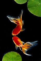 Gold Fish (1) (pdhclee) Tags: goldfish naturesfinest abigfave impressedbeauty aplusphoto colourartaward