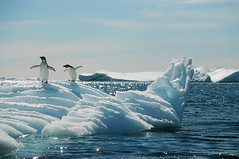 Dance Of The Penguins (peterkelly) Tags: film ice berg penguins wings dancing antarctica glacier iceberg adelie frostbites bestnaturetnc07