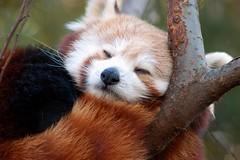 Izzy (tammyjq41) Tags: atlanta red zoo panda izzy tjs tjd specanimals animalkingdomelite abigfave impressedbeauty