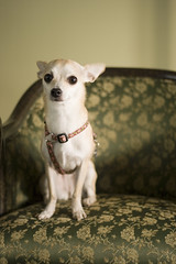 Formal Portrait (Angela.) Tags: dog chihuahua digital canon rebel raw lulu explore chi dslr canonef50mmf18ii niftyfifty explored xti 400d canondigitalrebelxti