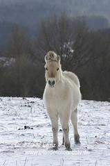260105x (53) (Lothar Lenz) Tags: schnee winter horse caballo cheval cavalo pferd hest equus paard hst fohlen hestur konj hobu zirgs fjordpferd lotharlenz