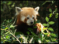 Red Panda (Xavier Bayod) Tags: barcelona red nature animal animals fauna mammal zoo tiere rojo panda olympus vermell xavier animalia tier e500 mamifero xbf bayod zoobarcelona ailurus fulgens zoolgic xavierbayod zoolgicdebarcelona xavierbayodfarr