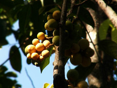 Ripe Time (Storm Crypt) Tags: fruits philippines cebu lanzones malabuyoc